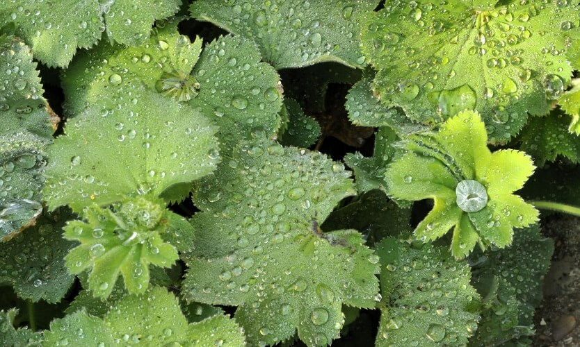 the leaves of the herbaceous perennial lady's mantle or alchemilla mollis with water droplets