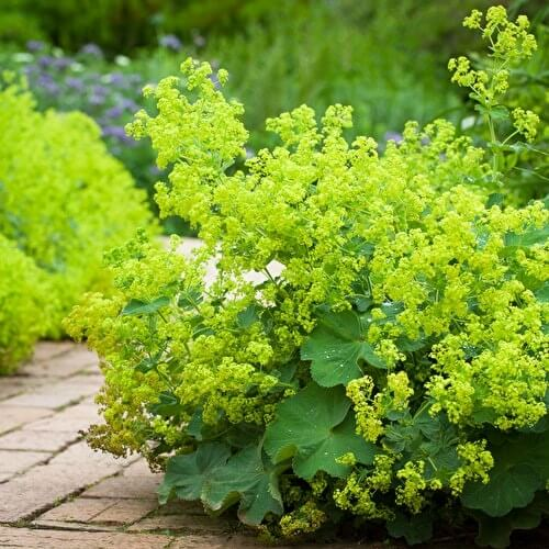 clumps of green lady's mantle or alchemilla mollis flowers growing along a path