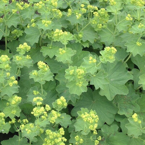 flowers of the herbaceous perennial lady's mantle or alchemilla mollis rise from the leaves