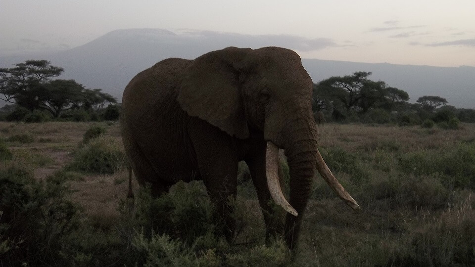 a male elephant with large tusks in Amboseli with Mount Kilimanjaro in the background
