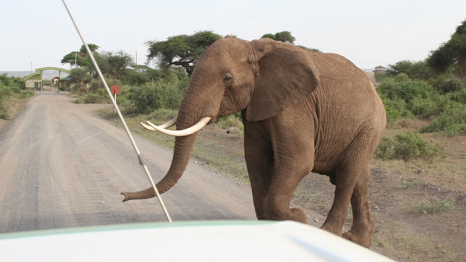a large tusker strolls across the road in front of a safari vehicle in Amboseli National Park