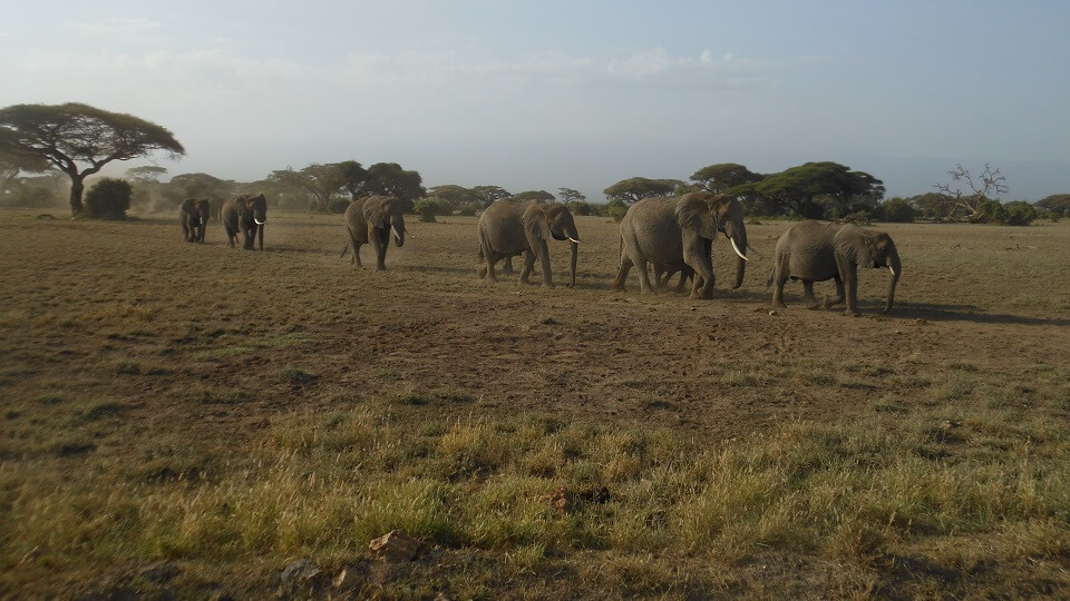 an African elephant herd walking in single file on their way to the water of the marshes