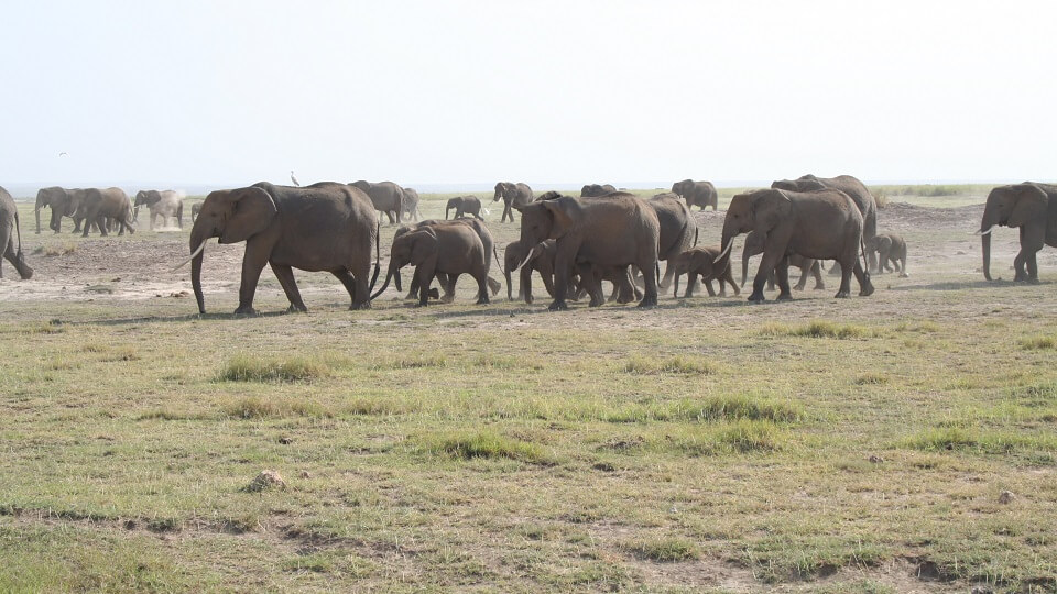 a herd of elephant cross the dry plains of Amboseli in search of food and water