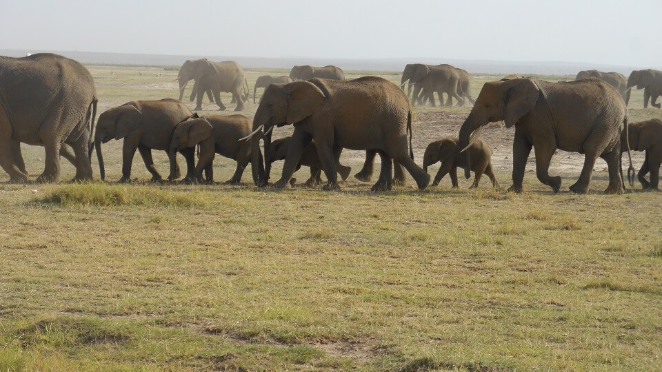 several herds of African elephant walking across the dry soil of Amboseli National Park in Kenya