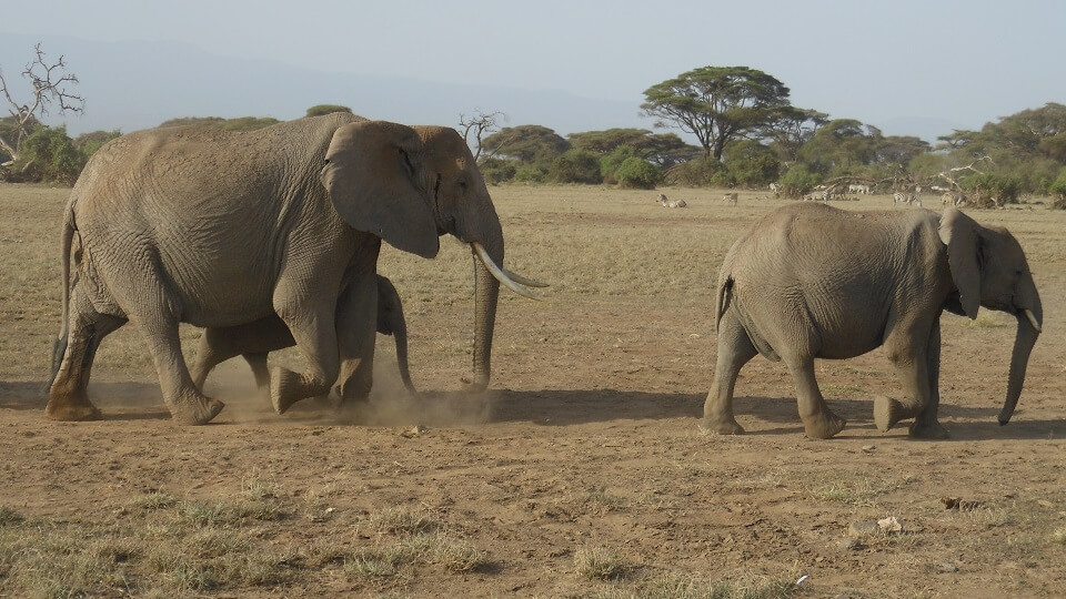 an elephant mother and her children walk with the herd on the plains of the Kenyan park Amboseli