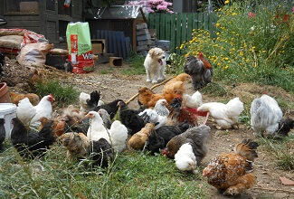 my flock of Pekin bantams explore the garden to scratch in the soil for seeds and insects