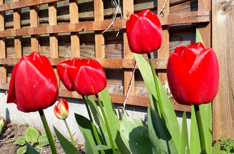 bright red tulips at the beginning of the year heralding the arrival of spring