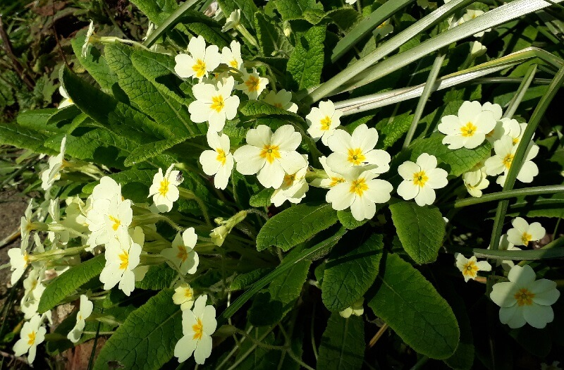 the indigenous primrose is covered with delicate yellow flowers in april