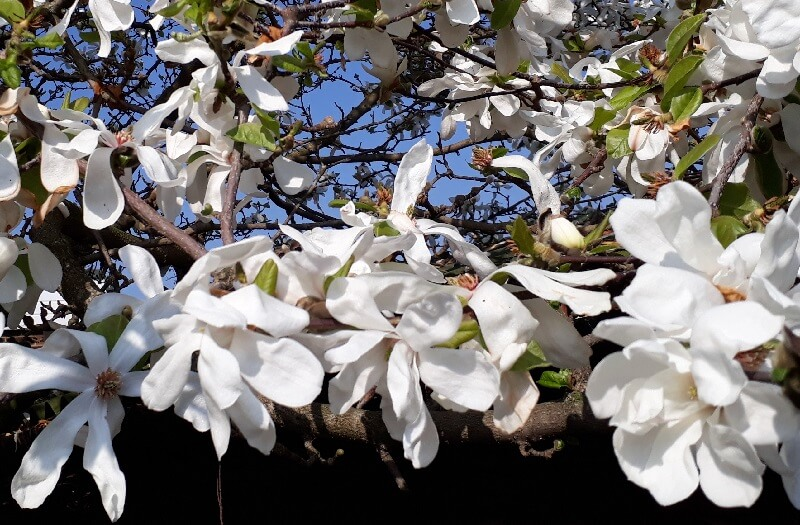 a royal star magnolia tree covered in blossom makes a magnificent show at the beginning of the season
