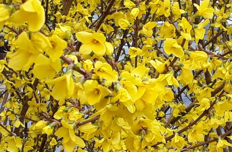 the bold yellow of forsythia can brighten up any spring garden