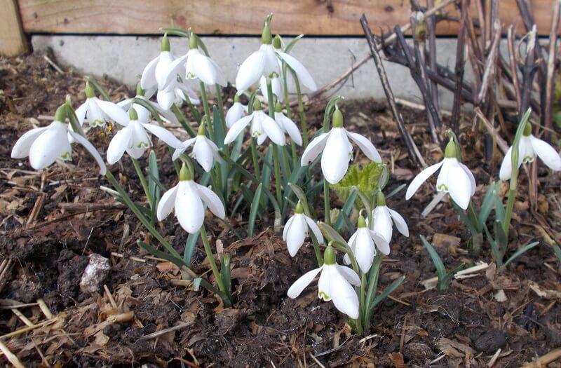 snowdrops with their delicate white flowers are the first spring bulbs to grace the garden