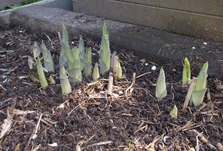 the giant hostas sprout from the ground in spring
