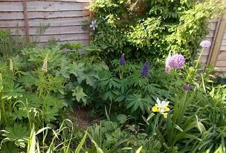lupins add a touch of colour in the flower bed