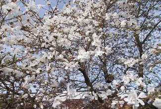 a magnolia tree covered in early spring blossoms