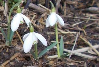 bright white flowers as the snowdrops herald the arrival of spring