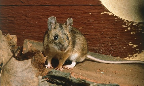 a mouse that commonly ventures into homes to eat food and find warmth