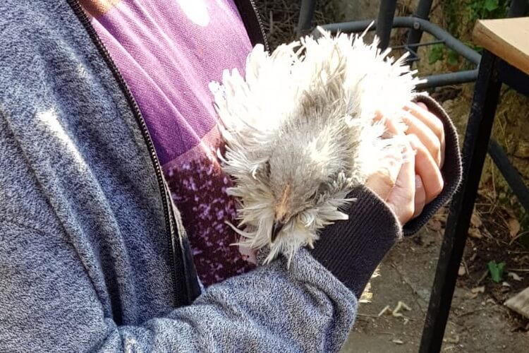 a frizzle Pekin Bantam hen falls asleep in the arms of a visitor