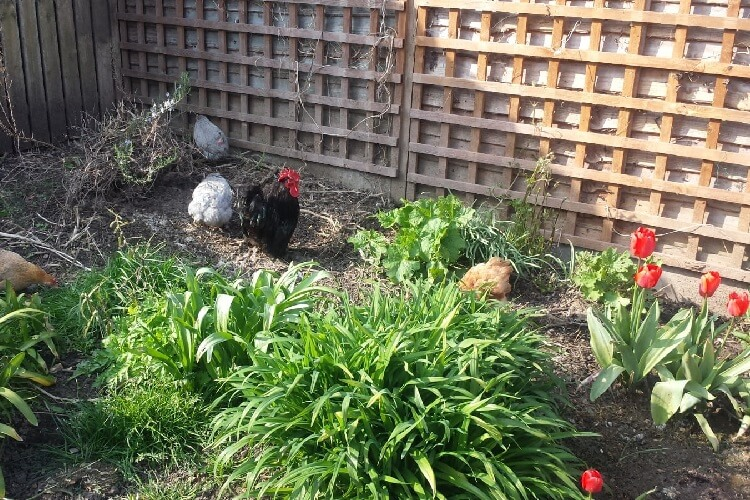 the chickens enjoy an opportunity to wander around the garden, scratching and pecking, at the Porridge and Rice petting day