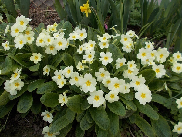 spring primroses with clumps of lemon yellow flowers