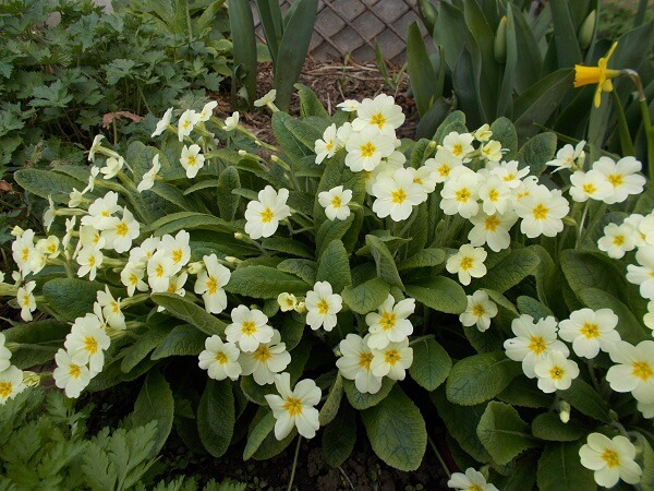 a large clump of primula vulgaris flowering as spring begins