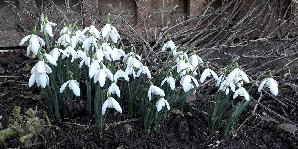the first of the spring bulbs to appear is the snowdrop, small but dramatic, filling corners and empty spaces around shrubs