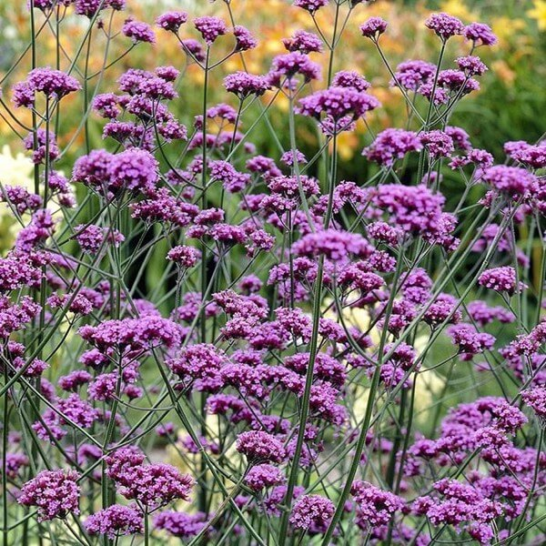 the tall herbaceous perennial verbena bonariensis with purple flowers