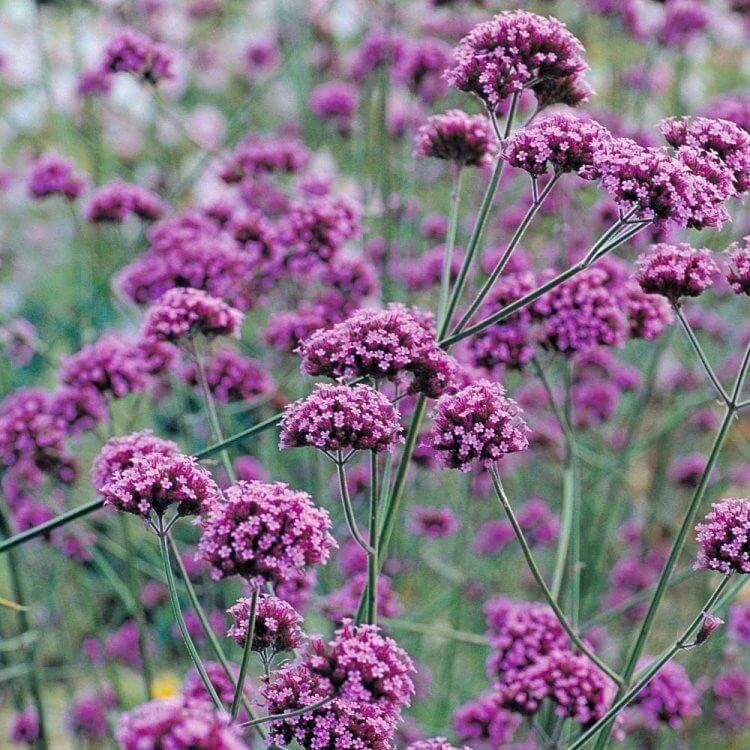 verbena bonariensis, ideal for height and shape in the full sun flower bed