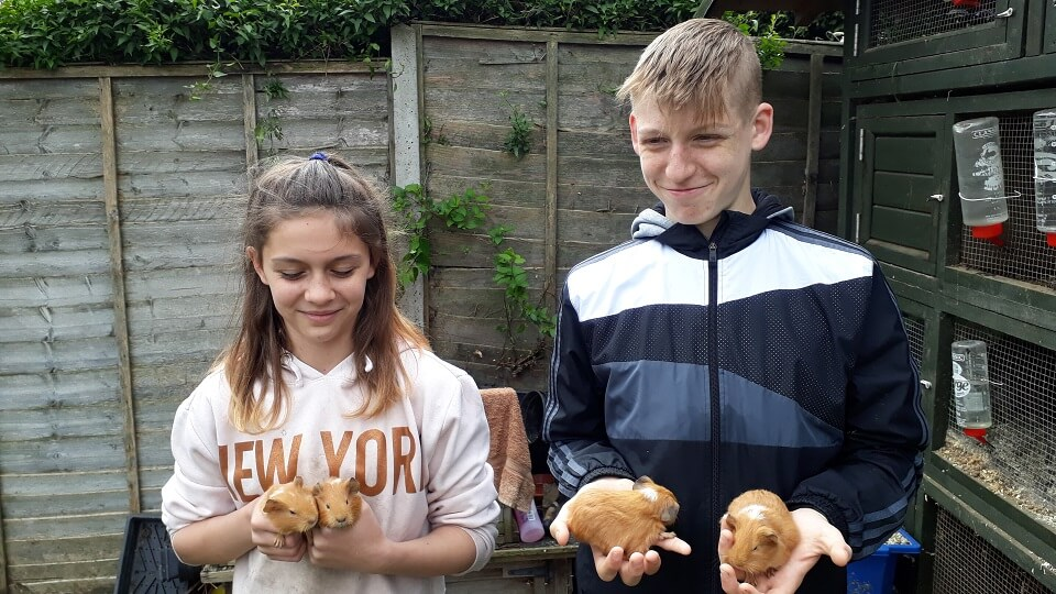Izzy and George handle baby guinea pigs so that they get used to being petted by people