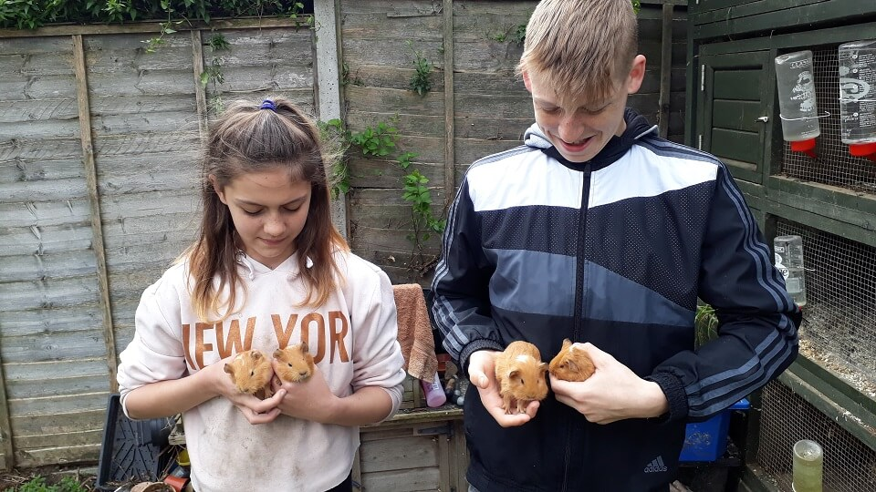 Baby guinea pigs, only 6 weeks old, are petted by young volunteers Izzy and George to get them used to people