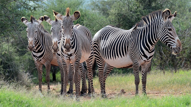 the endangered Grevy zebra of Kenya and Ethiopia