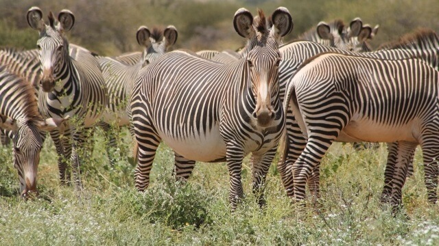 the endangered Grevy zebra of eastern Africa